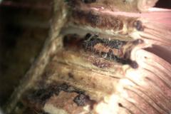A gerincenyvezésben megtapadt barna bőrtöredékek