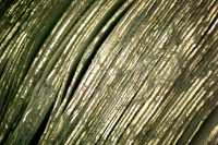Microscopic photograph of the gilded and gauffered edge